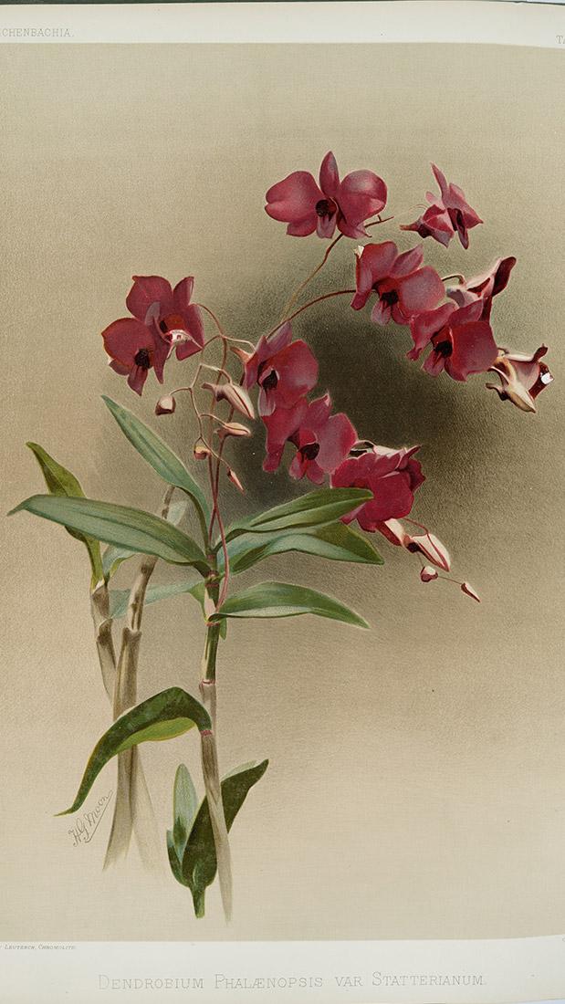 http://cinegrafix.eu/wp-content/uploads/2017/11/Dendrobium-phalænopsis-var-statterianum-web.jpg
